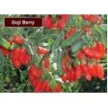 75 - 100 cm ' lik Goji Berry Fidanı ( Sezonda Meyve Verecek Fidan)